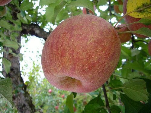 Een appel in een boom