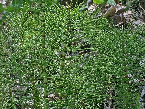 Waar kan ik deze afslankende plant vinden