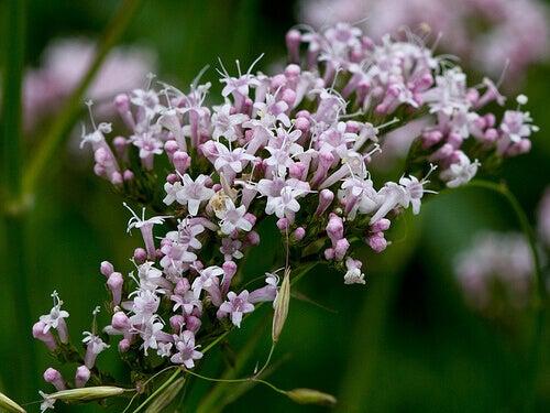 valeriaan-een-medicinale-plant-tegen-insomnia