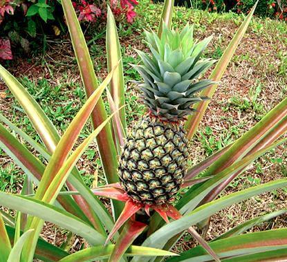 Een gezonde ananasplant