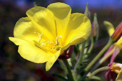 Teunisbloem kan ook gebruikt worden als natuurlijke remedie tegen artritis
