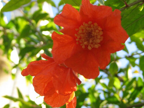 granaatappel-bloem