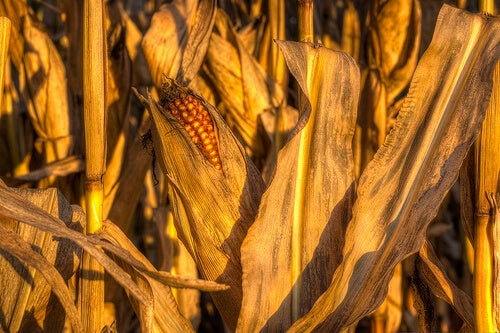 Mais tegen Vochtophoping