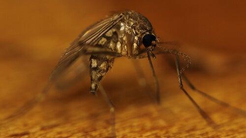 Middelen tegen muggen met olie