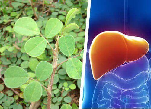 Je lever beschermen met een plant, kan dat?