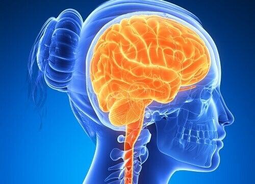 hersenen3