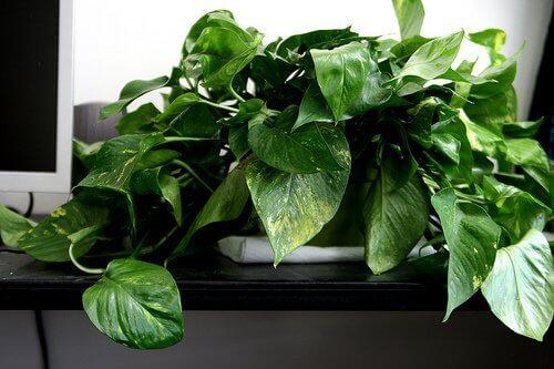 Pothosplant