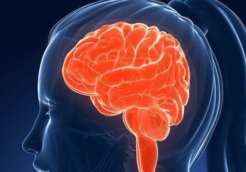 Hersenen2
