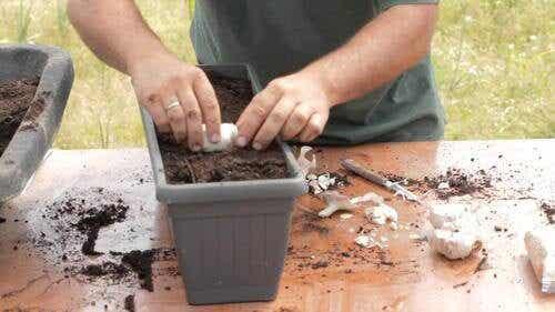 Zo kun je thuis een eindeloze voorraad knoflook kweken