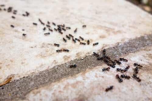 Mieren bestrijden zonder chemicaliën