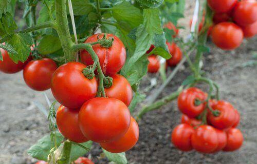 Zelf thuis tomaten kweken