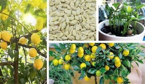 Zelf thuis citroenpitten ontkiemen
