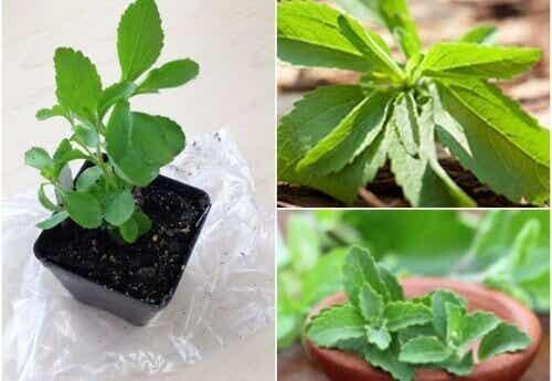 Je eigen zoetstof: hoe je zelf stevia kunt kweken