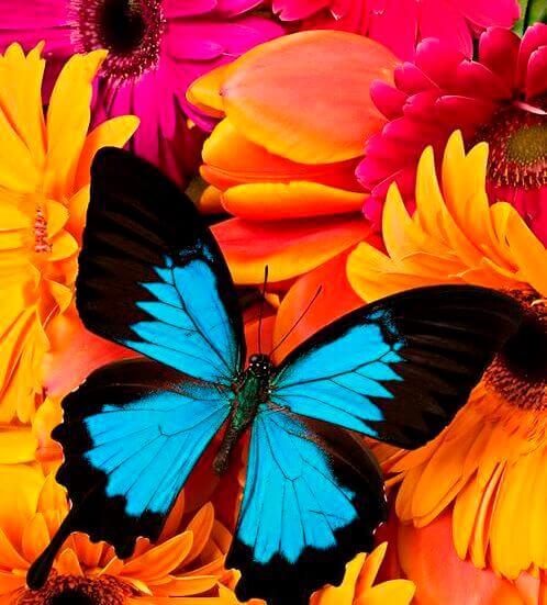 Blauwe vlinder met oranje en rose