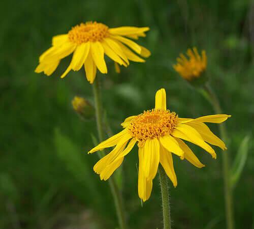 arnica bloemen