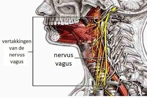 Plaats van de nervus vagus