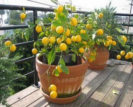 Deze fruitbomen kun je binnenshuis houden