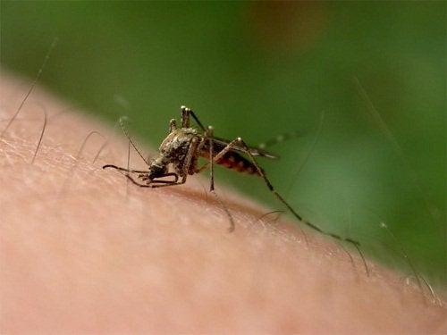 Goudsbloem tegen muggen