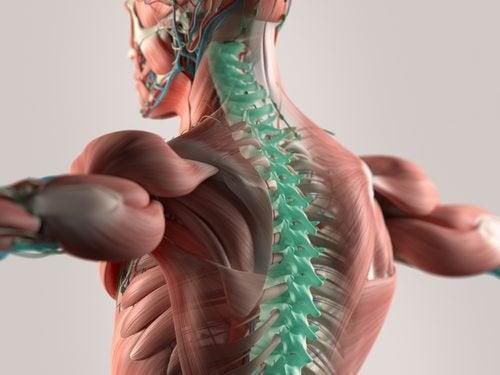 Nieuw onderzoek wijst uit dat microvezels de ruggengraat kunnen reconstrueren