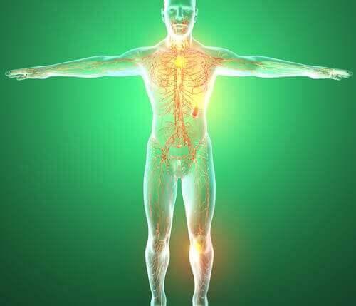 De organen van het lymfestelsel