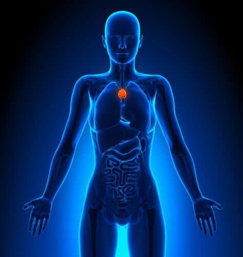 De rol van de thymus in het lymfestelsel