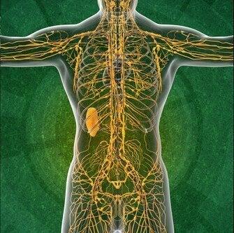 Het lymfestelsel: vier interessante feiten die je wilt kennen