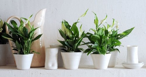 De lucht in je huis zuiveren met een lepelplant