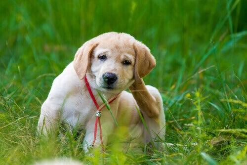 Vlooien bestrijden en met een kam verwijderen bij je hond