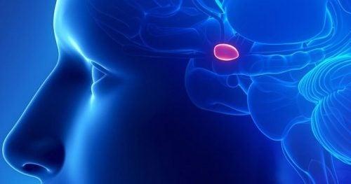 De pijnappelklier of epifyse