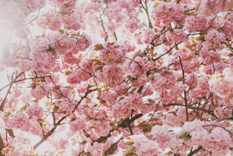 Bloesem en Allergische rhinitis