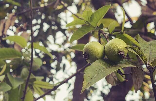 Een guaveboom
