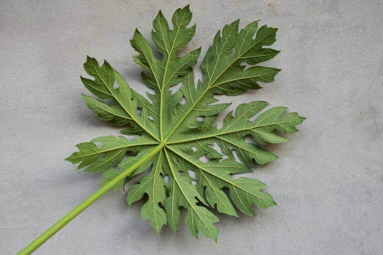 Bladeren van papaja's