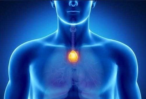 De functie van de thymus: moderator van het immuunsysteem