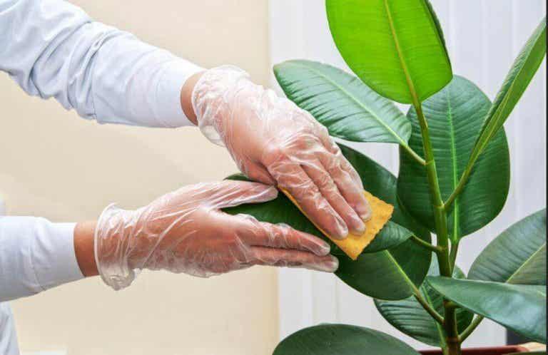 Hoe de bladeren van kamerplanten schoon te maken
