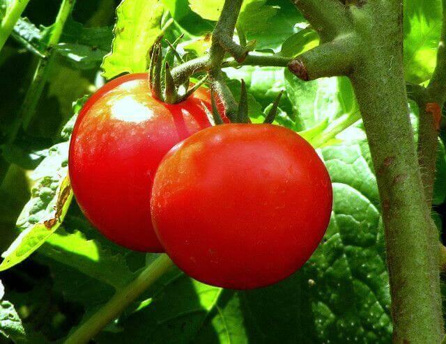 Trosje tomaten