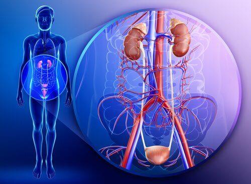 De eigenschappen van peterselie voor gezonde nieren