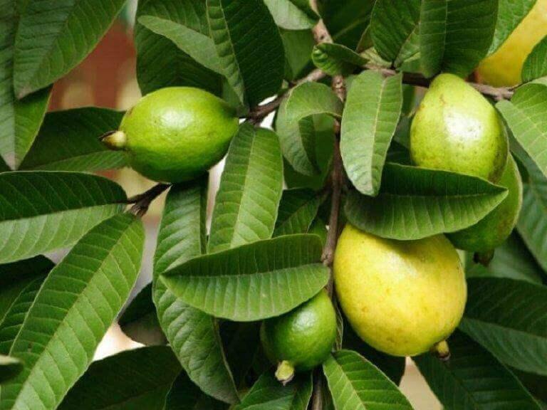 Guave en guavebladeren