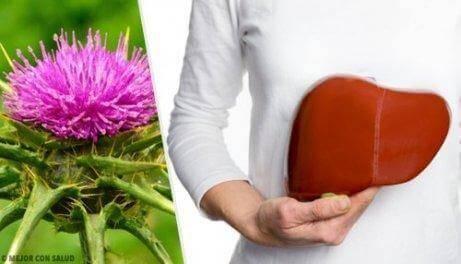 Behandeling van leververvetting met mariadistel