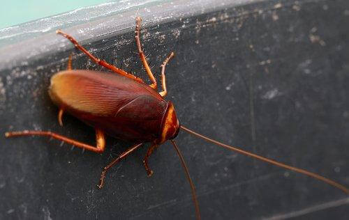 Kakkerlak in de keuken