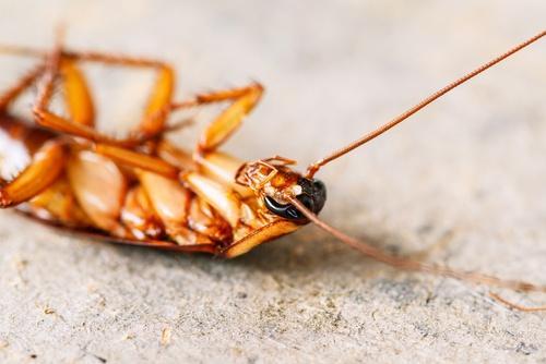 Leer hoe je kakkerlakken het beste kunt bestrijden