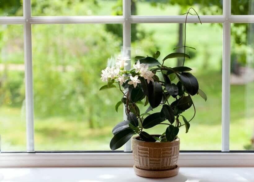 Plant met bloemen voor een raam