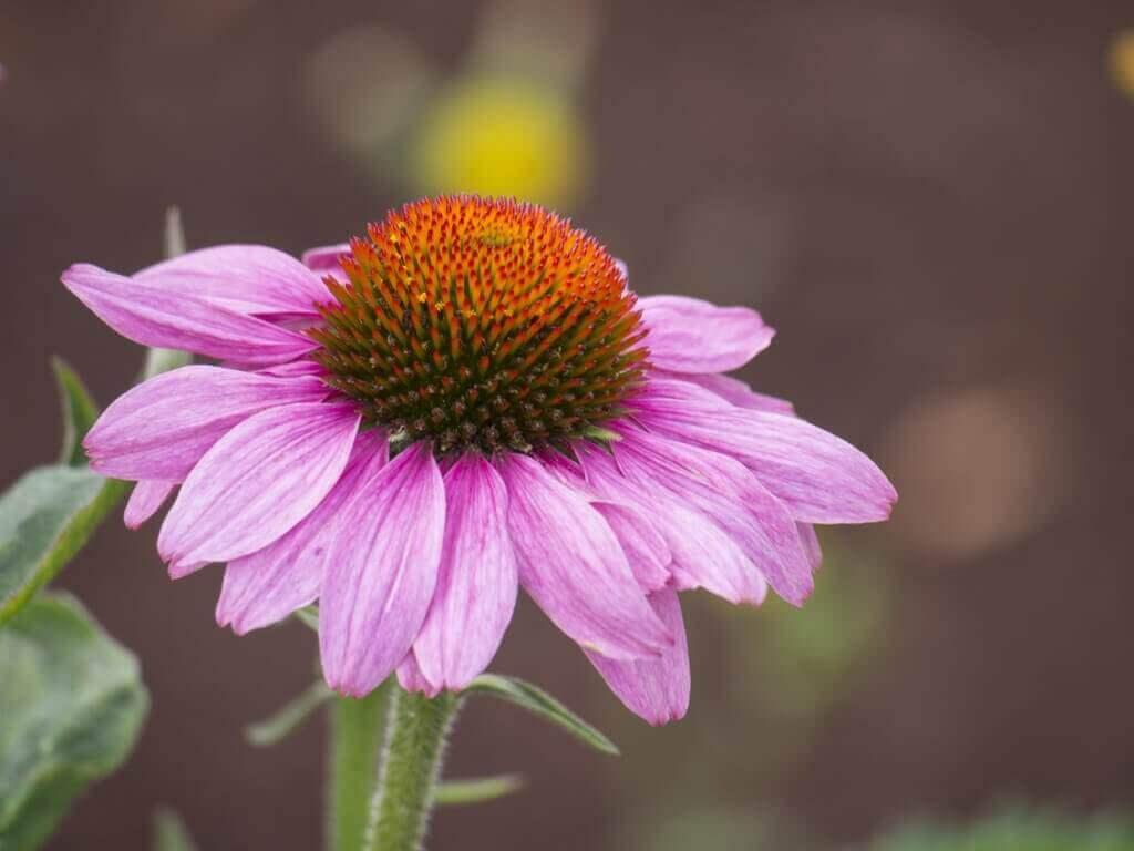 Echinacea werkt als een antibioticum