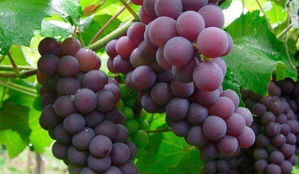 Trosjes rode druiven