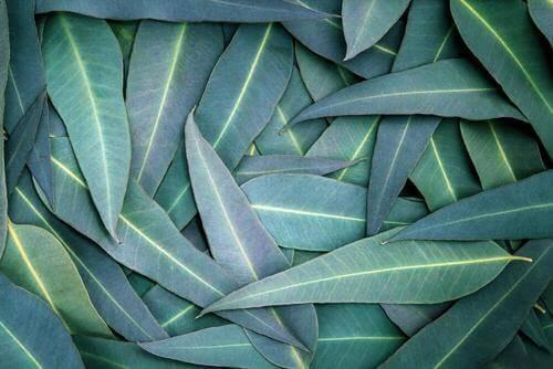 5 remedies met eucalyptus om ademhalingsproblemen te verlichten