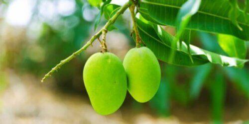 Mango's aan een boom