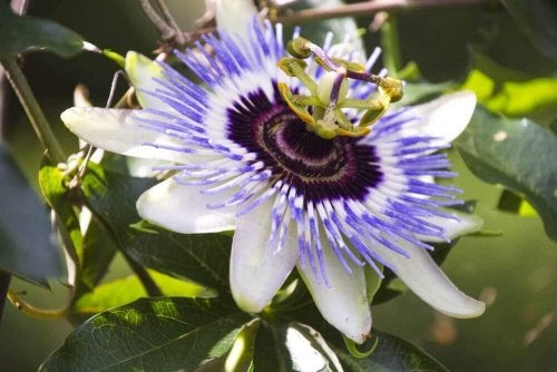 Passiflora of passiebloem