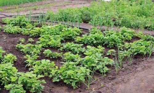 Een groentestrook in je tuin biedt uitkomst