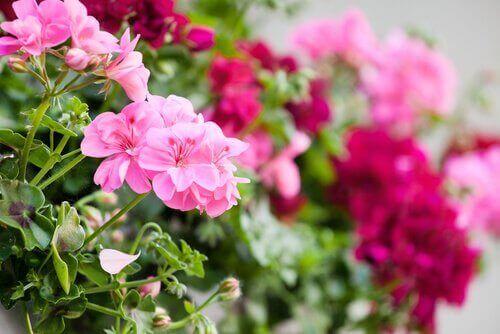 geraniums voor op het balkon