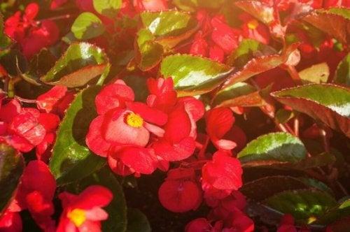 begonias voor op het balkon