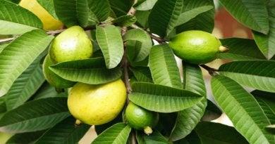 Guavevruchten aan een boom